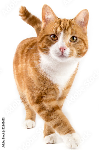 Staande foto Kat red cat, walking towards camera, isolated in white