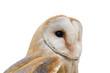 closeup di un barbagianni con sfondo bianco