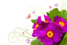 Primula-Blumen.Geburtstagkarte.