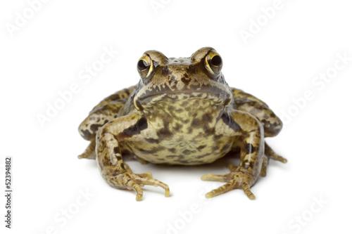 Tuinposter Kikker Common frog