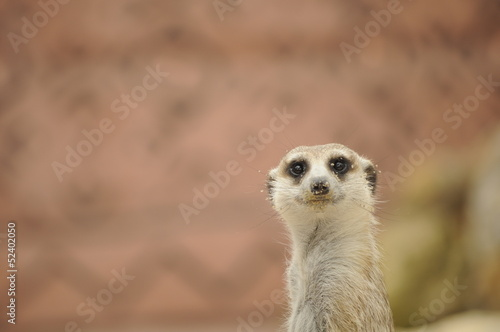 Suricate Wallpaper Mural