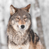 Grey Wolf (Canis lupus) with One Ear Back