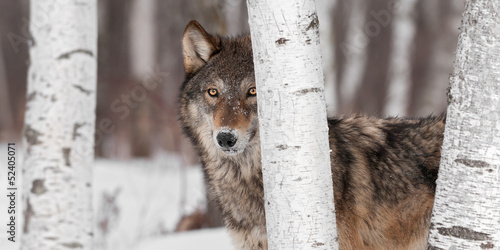 Spoed Fotobehang Wolf Grey Wolf (Canis lupus) Stands Amongst Trees