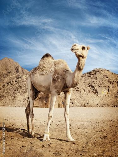 In de dag Egypte Camel
