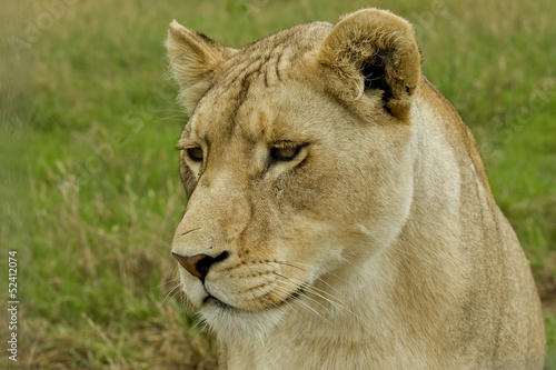 Foto  Lioness up close