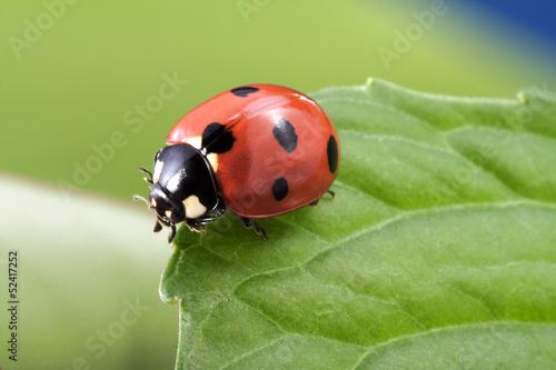 Fotomural ladybug on leaf