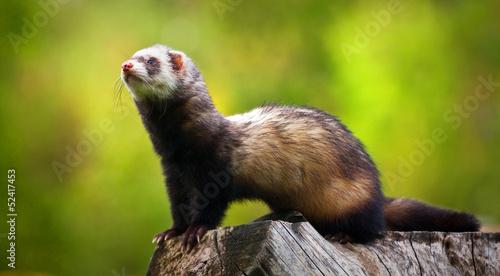 Fotografering  ferret