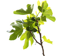 Isolated Branch From A Fresh Green Common Fig.Ficus Carica.