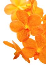 Orange Ascocentrum Orchid