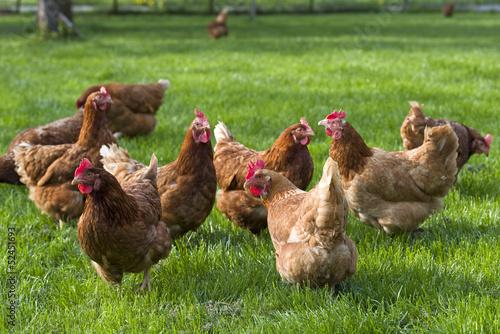 freilaufende Hühner auf Wiese Fototapete