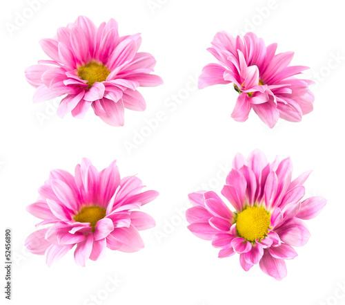 Poster de jardin Dahlia Collage blooming pink chrysanthemum