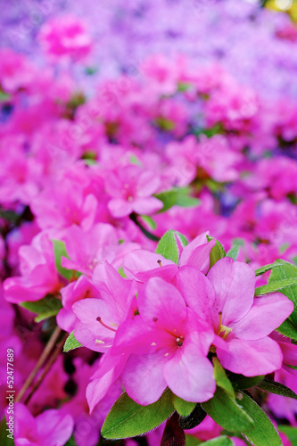 Tuinposter Azalea Summer flowers background