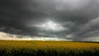 Schwarze Wolken und schwerer Regen über Rapsfeld