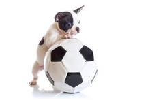 French Bulldog Puppy With Socc...