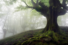 Foggy Forest With Mysterious T...