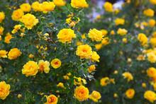 Bush Briar Yellow Rose Flowers Nature Background Wallpaper