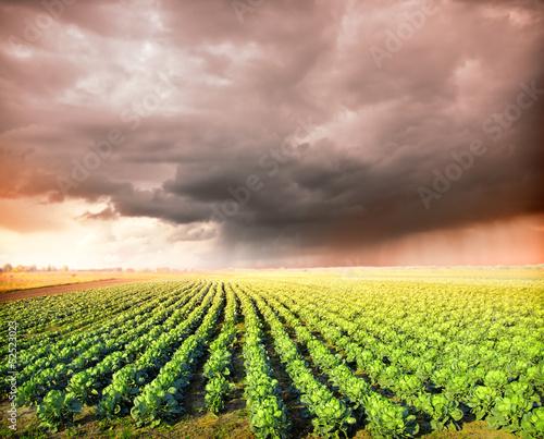 Tuinposter Zwavel geel Cabbage Field and rainy sky