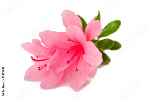 Cadres-photo bureau Azalea azalea flower