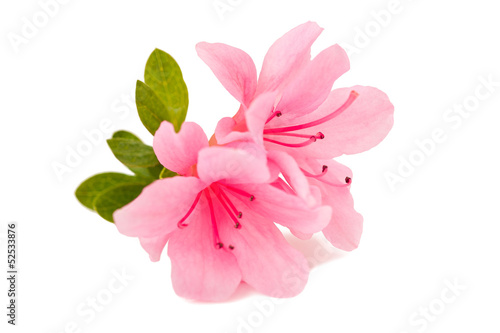 Foto op Canvas Azalea azalea flower