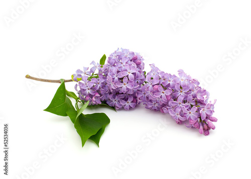 Fotobehang Lilac lilac over white