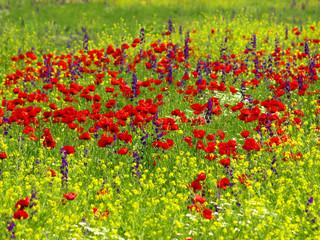 Fototapeta poppy and wild flowers