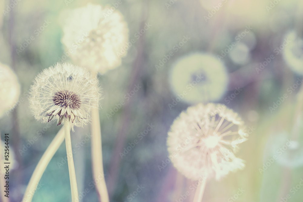 Fototapety, obrazy: close up of Dandelion with abstract color