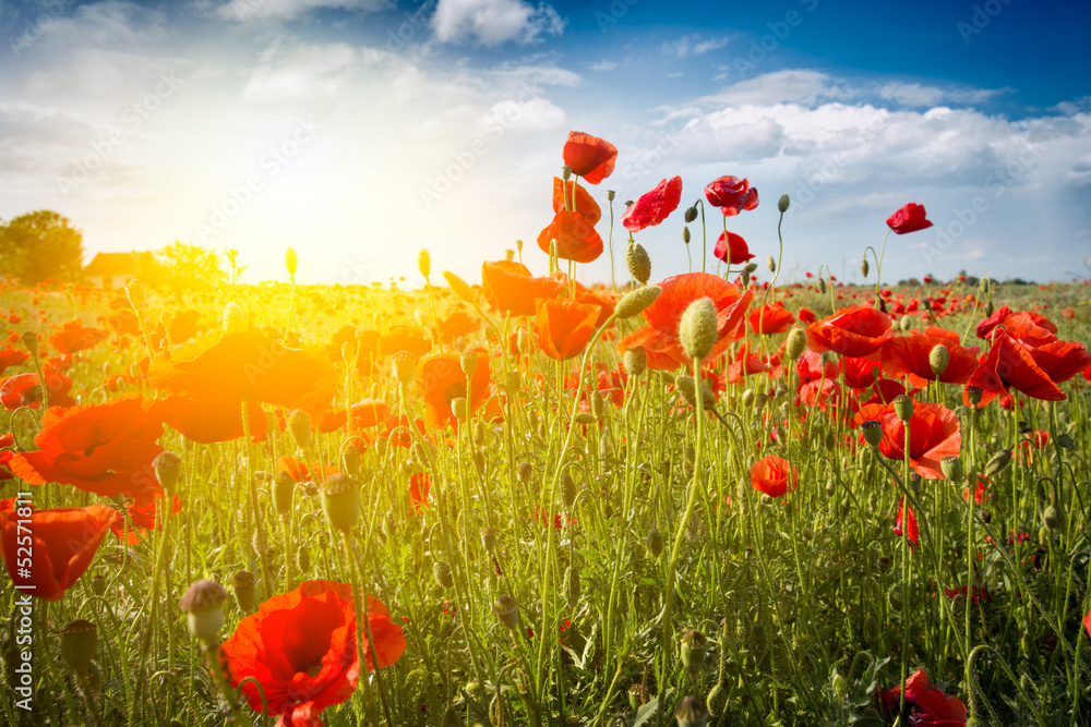 Fototapety, obrazy: Field of Corn Poppy Flowers