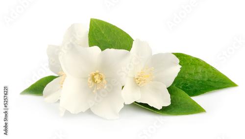 фотография Flowers of jasmine