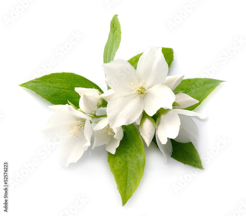 Fotografia White flowers of jasmine