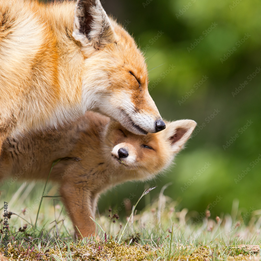 Fototapety, obrazy: Red Fox and her young cub