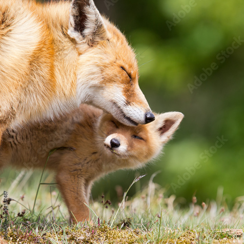 Red Fox and her young cub Wallpaper Mural