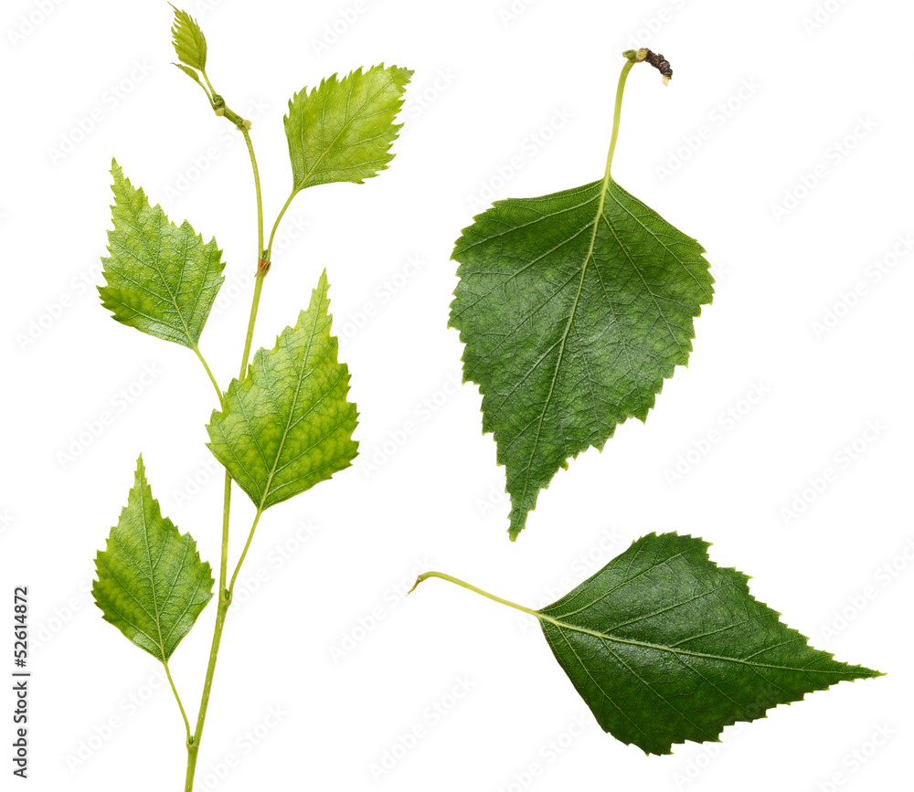 Young birch branch and leaves
