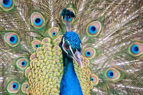 Fotografie, Obraz  Paon bleu (Pavo cristatus)