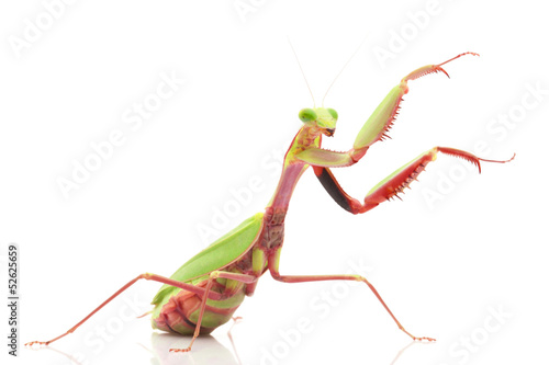 Fotografie, Obraz  Giant Rainforest Mantis