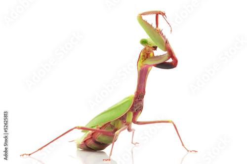 Obraz na plátně  Giant Rainforest Mantis