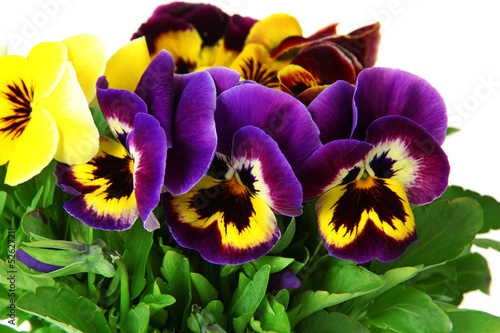 Deurstickers Pansies Beautiful pansies flowers isolated on a white