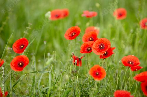 Field of Corn Poppy Flowers Papaver rhoeas in Spring - 52646482