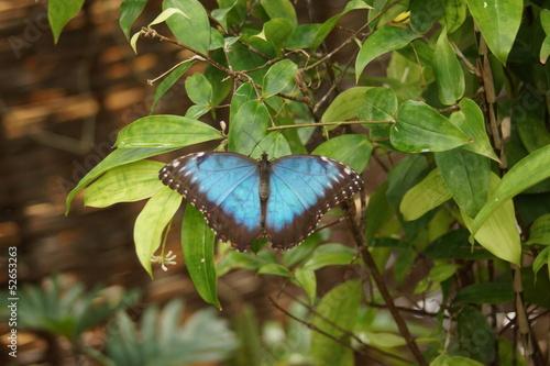 Fotografie, Obraz  Peleides Blue Morpho - Mopho peleides