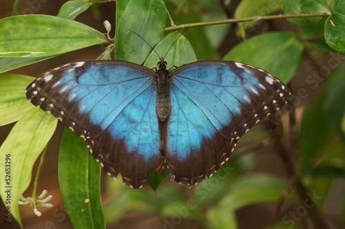 Deurstickers Vlinder Peleides Blue Morpho - Mopho peleides