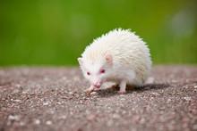 African Hedgehog Albino