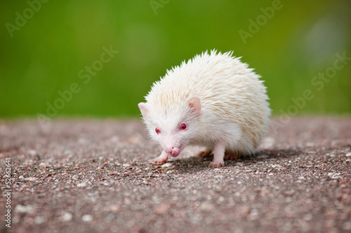 Photo african hedgehog albino
