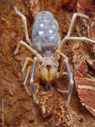 Close up shot of Camel spider