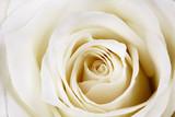 Piękna biała róża