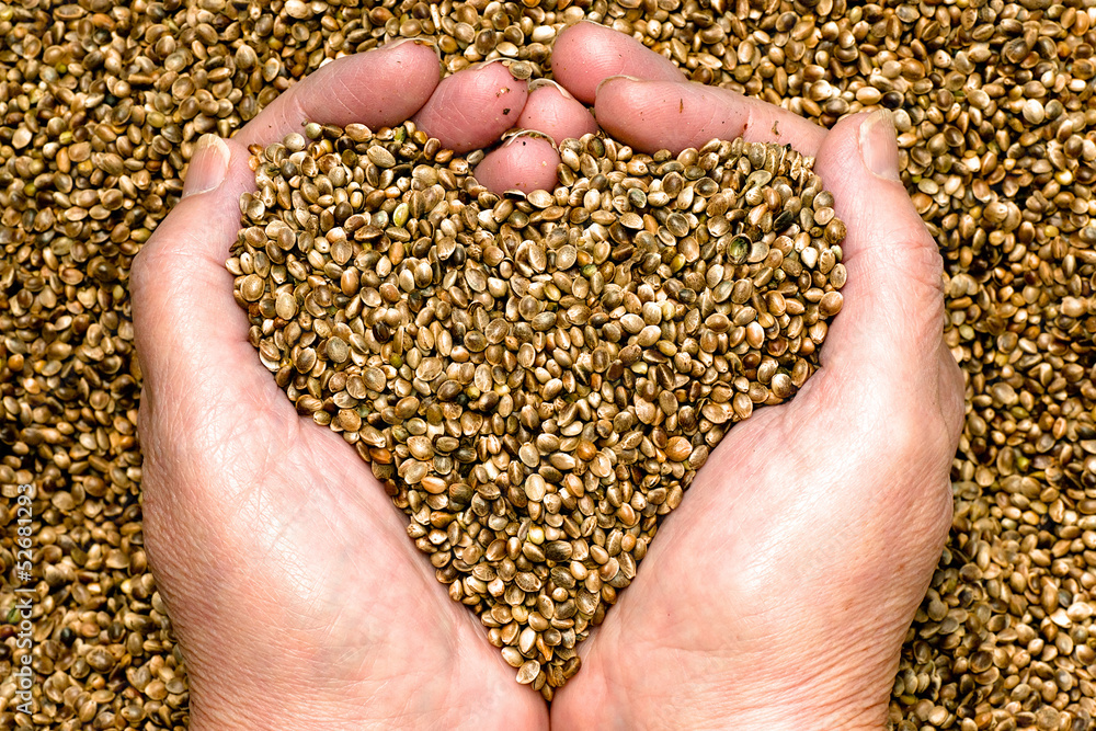 Fototapety, obrazy: Hemp seeds held by woman hands shaping a heart on a hemp seed background