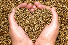 Hemp Seeds Held By Woman Hands...