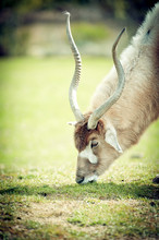 Addax Antilope Du Désert
