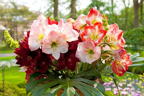 Photo Beautiful Amaryllis flowers Amaryllidaceae