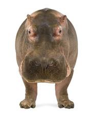 Hippopotamus, Hippopotamus Amp...