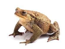European Toad (Bufo Bufo) Isol...