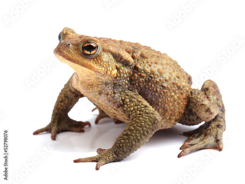 In de dag Kikker European toad (Bufo bufo) isolated on white